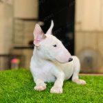 Bull Terrier Trắng