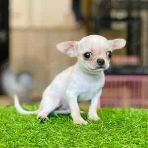 Chihuahua Kem