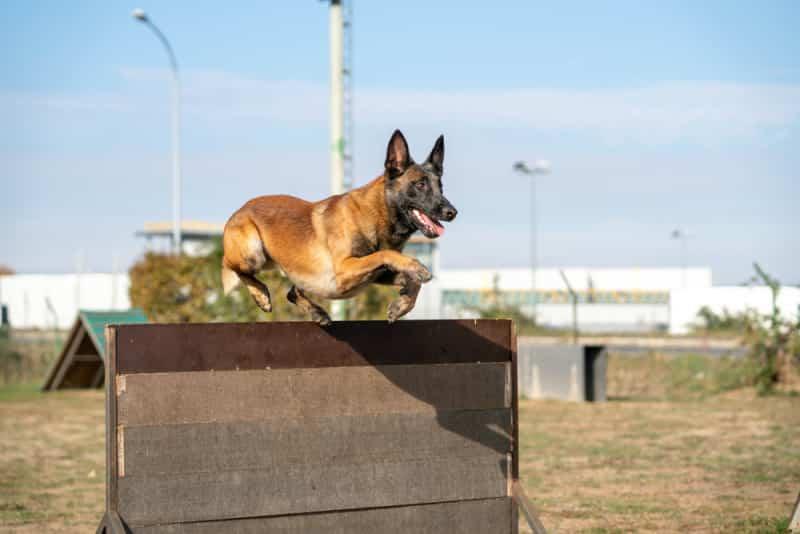 Chó béc bỉ malinois có phẩm chất ưu tú vượt trội
