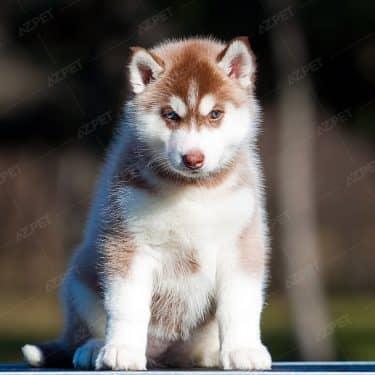 Husky Nâu Đỏ