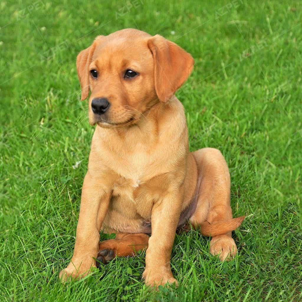 Labrador Vàng Bò