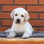 Labrador Vàng Kim