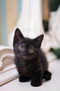 Munchkin Black