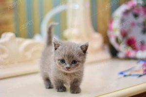 Munchkin Lilac