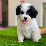 Poodle Toy Bò Sữa