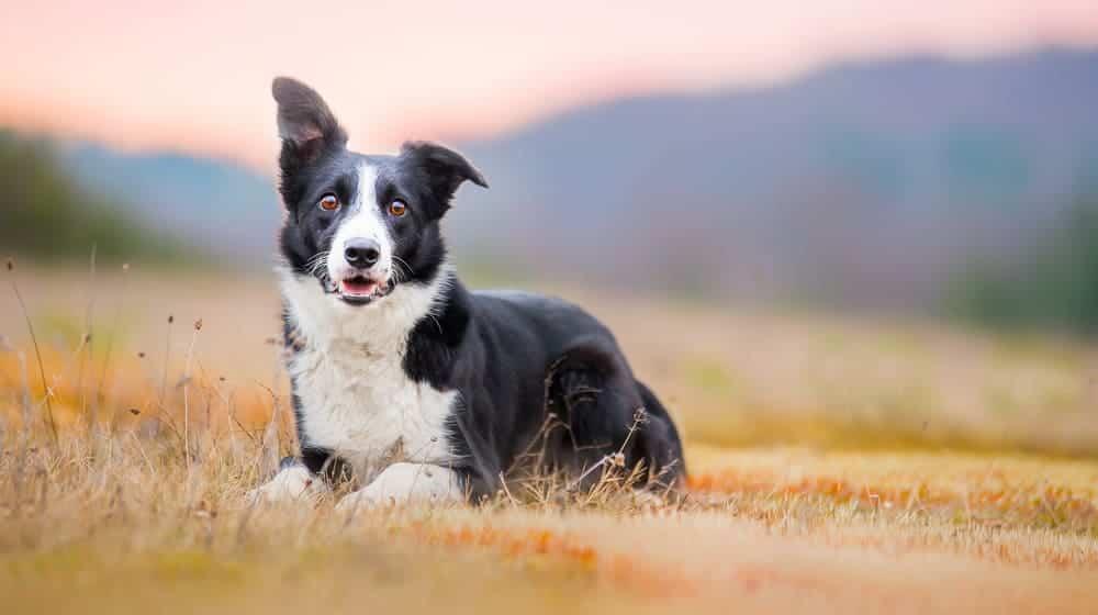 Chó border collie rất nhanh nhẹn