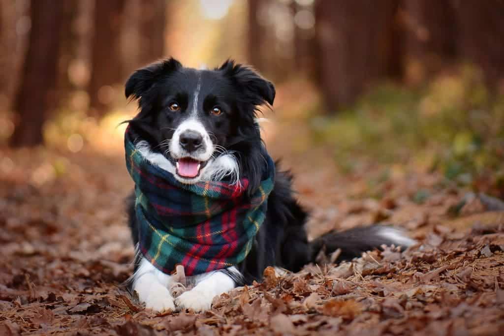 Chó border collie dễ dạy bảo