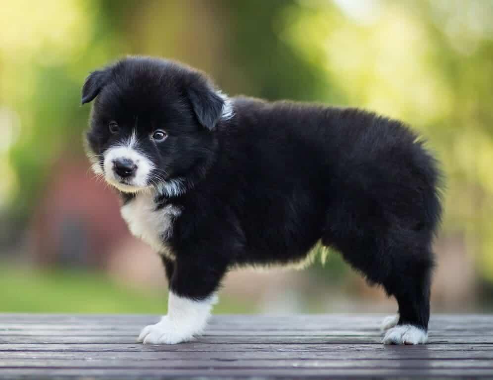 lưu ý khi chọn mua chó border collie