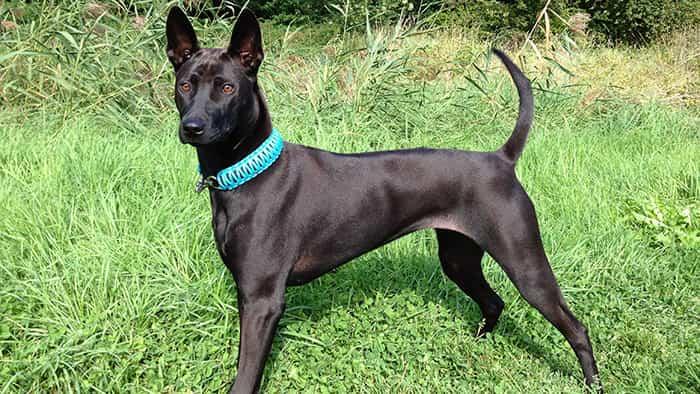 Chó Phú Quốc linh hoạt và dũng mãnh