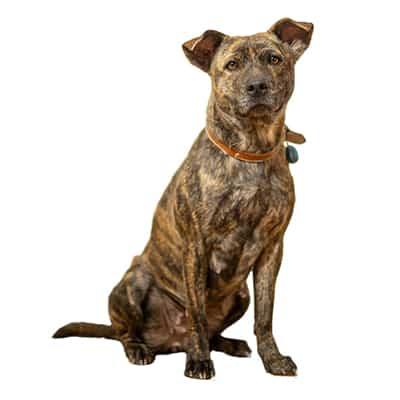 Chó xoáy phú quốc