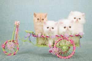 Mèo ba tư có khả năng thích nghi tốt