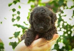 Poodle Tiny Đen