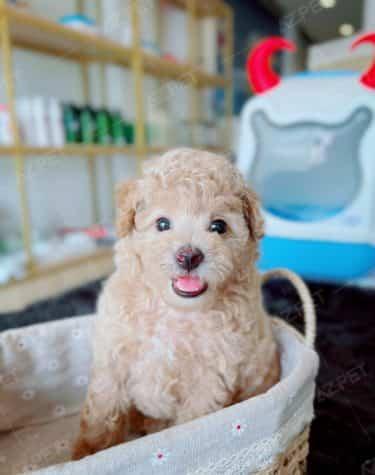 Poodle Tiny Kem