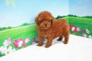 Poodle Tiny Nâu Đỏ