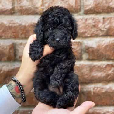 Poodle Toy Đen