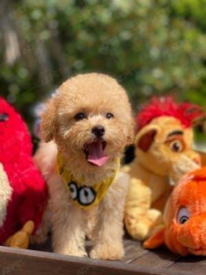 Poodle Toy Kem