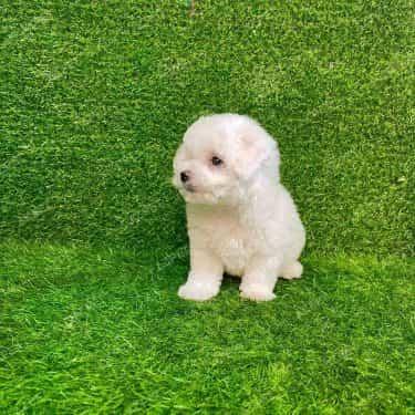 Poodle Toy Trắng