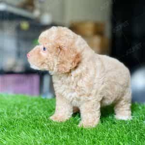 Poodle Toy Vàng Mơ