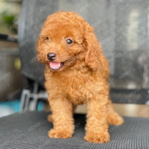 Poodle Toy Nâu Đỏ